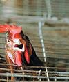 防治禽流感:人是怎样感染上禽流感的?